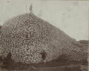 Two men pose with large pile of bison skulls, grassy field and crate in foreground.